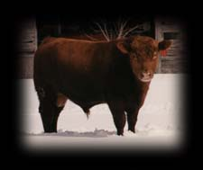 One of the herd sires