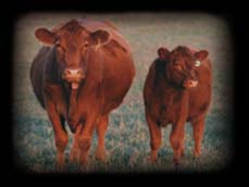 Red angus in the spring
